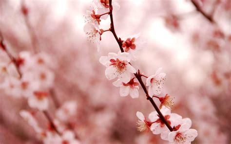 cherry blossoms images cherry blossom desktop wallpapers wallpaper cave