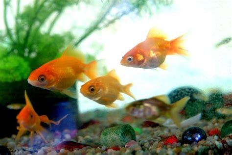 d 233 tecter le chignon tueur les seychelles r 233 glementent l importation des poissons d aquarium