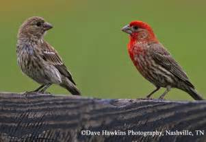 red finch www pixshark com images galleries with a bite