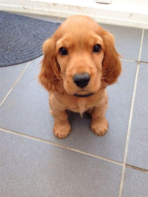 puppy cocker spaniel cocker spaniel puppy 11 weeks tamworth staffordshire pets4homes