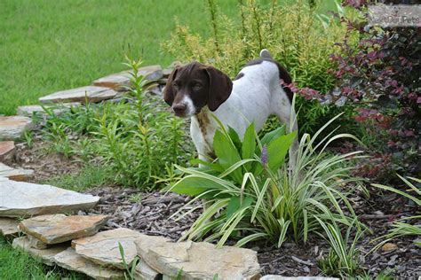 german shorthaired pointer puppies for sale in nc german shorthaired pointer puppy for sale near carolina bc1f1e95 68f1