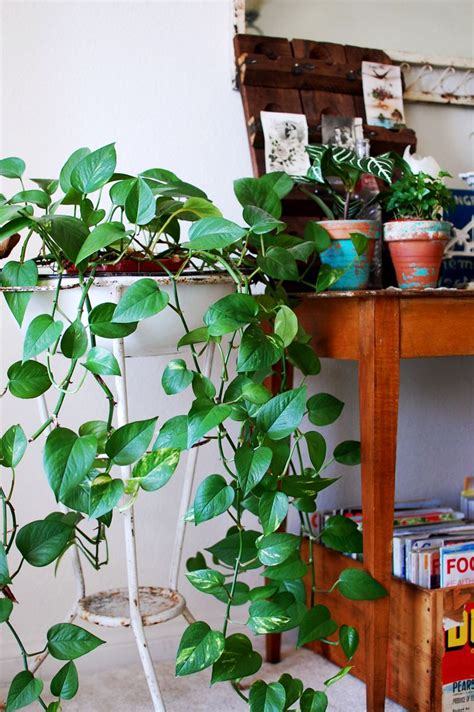climbing house plants 5 tips for adding green to your home a beautiful mess