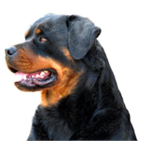 bone cancer in rottweilers rottweilers and osteosarcoma vetdepot