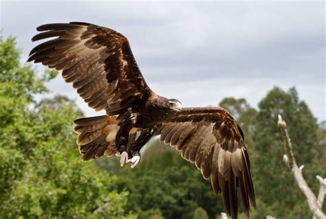 Australian Wedge Tailed Eagle Gives You Some Ideas Of The - wedge tailed eagle related keywords suggestions wedge