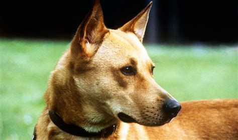 canaan puppies canaan breed information