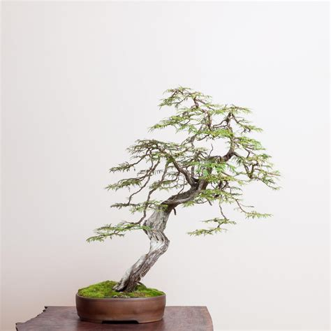 western red cedar bonsai mirai