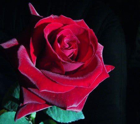 imagenes de rosas terciopelo retando a la muerte diciembre 2010