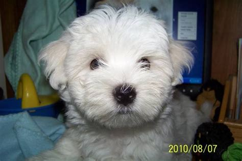 puppies for adoption in michigan akc registered maltese puppies available for adoption 1 and 1 breeds picture