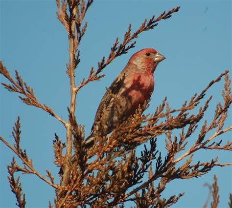 house finch singing mississippi flooding in st paul mn birdchick