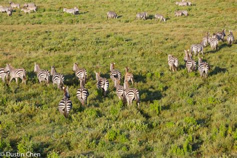 zebra migration pattern experience the wildebeest migration from up high africa