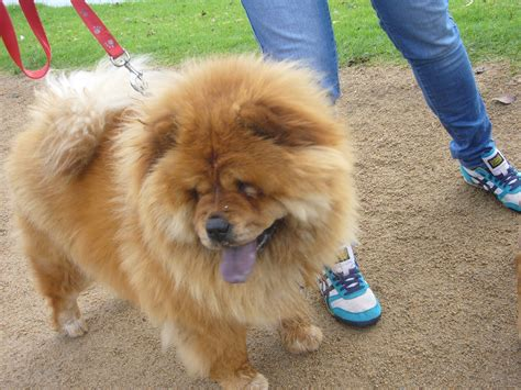 dogs that look like lions that looks like a breeds picture
