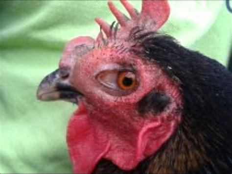 has swollen eye chicken swollen eye