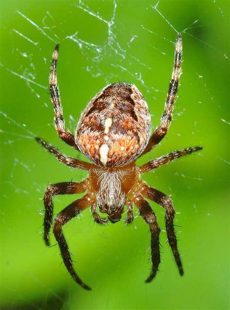 Garden Spider European Garden Spider Wiktionary