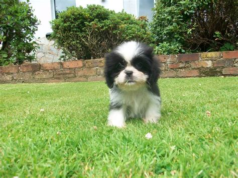 cavalier cross shih tzu king charles cavalier mixed with bichon frise breeds picture