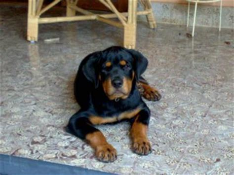 rottweiler weight rottweiler weight at 4 months photo