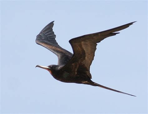 Great frigate bird Images hd wallpapers free download