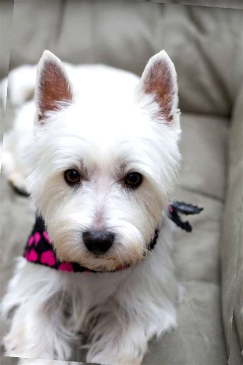 pictures of haircuts for westies haircut for westie westies pinterest westies dog