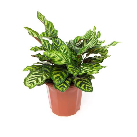 Als Zimmerpflanze by Calathea Als Zimmerpflanze Halten 187 So Pflegen Sie Sie Richtig