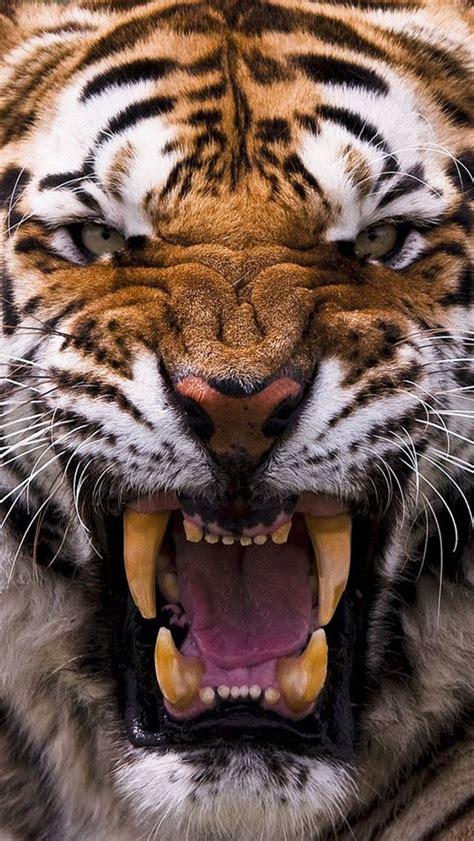 wallpaper for iphone 6 tiger 画像 iphone用壁紙 肉食動物 陸編 naver まとめ