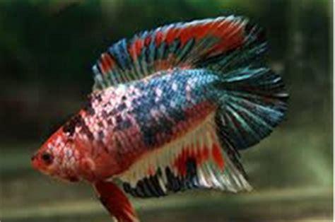 cara membuat makanan anak ikan laga informasi tentang ikan cupang share the knownledge
