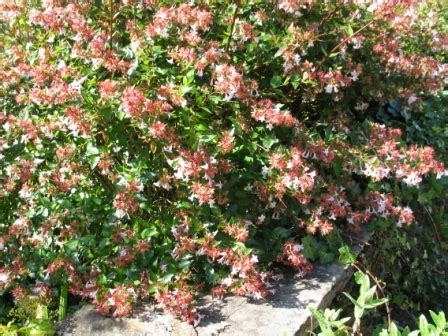 flowering evergreen shrubs chris pattison nurseryman