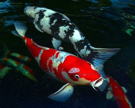 Wallpapers Unlimited Japanese Colorful Quot Koi Fish Quot