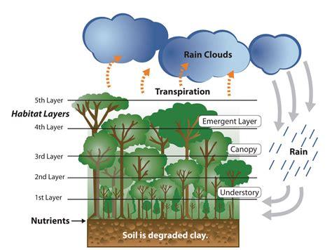 rainforest diagram brazil