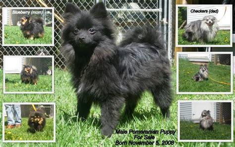 black pomeranian puppies for adoption black pomeranian puppies for sale adoption from malakwa columbia columbia