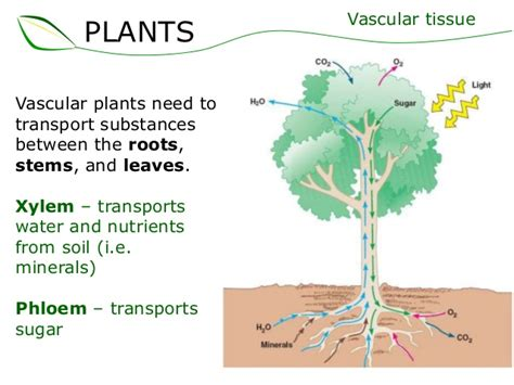 vascular tissue diagram what is the importance of plants in our lives learn