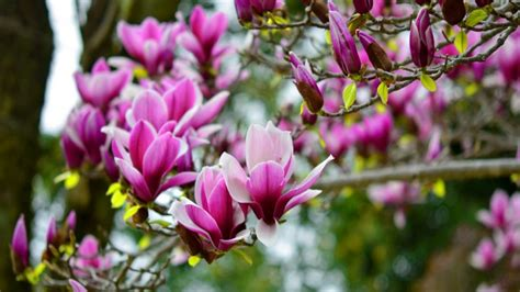 flower images magnolia flower wallpaper images of flowers images flower