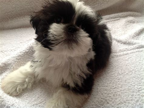 my shih tzu puppy miniature shih tzu puppy halesowen west midlands pets4homes