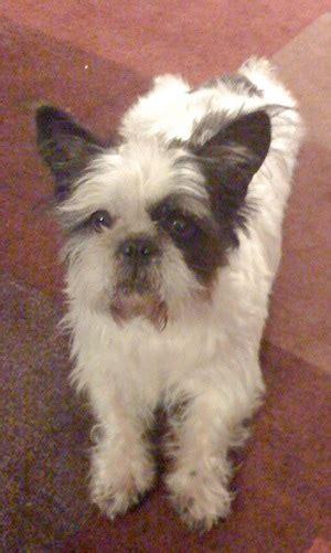 cross between bulldog and shih tzu bull tzu bulldog shih tzu hybrid dogs family members d thru f