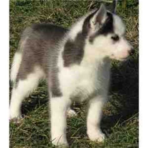 husky puppies seattle dogs seattle wa free classified ads