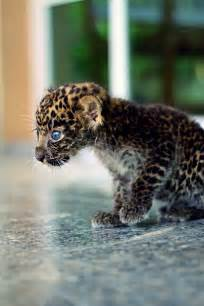 Pics Of Baby Jaguars Baby Jaguar Fuzzy Today