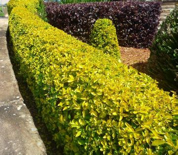 garden hedge types types hedge plant to fence home 8 artdreamshome
