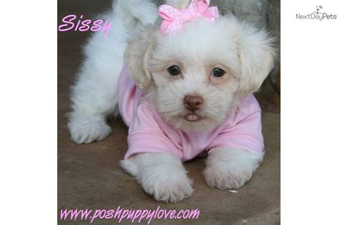 shih tzu teddy cut shichon puppy 4 salecrossmixed breed puppies breeds picture
