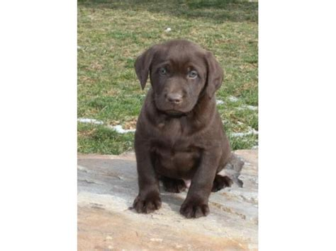 lab puppies for sale in montana labrador retriever puppies for sale offer 300