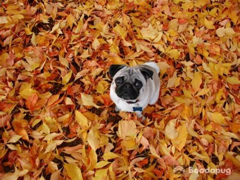 fall pug 17 best images about pugs not drugs on