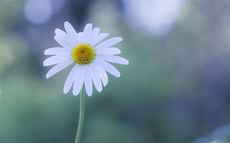 imagenes margaritas blancas flor margarita blanca fondos de pantalla gratis