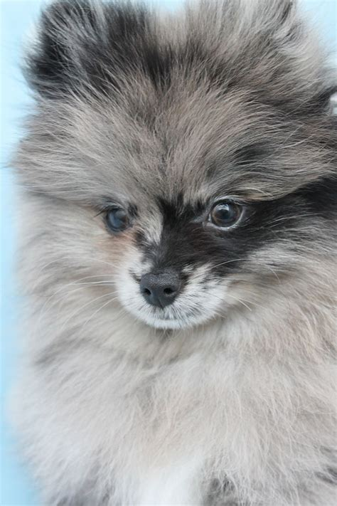 pom pom pomeranian for sale 25 best ideas about teacup pomeranian puppy on
