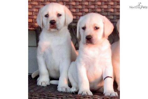 labrador puppies for sale michigan chocolate lab puppies for sale in michigan hdjpg breeds picture