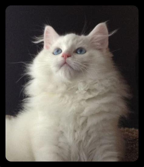 ragdoll white cat bew solid blue eyed white ragdoll ragdoll kittens