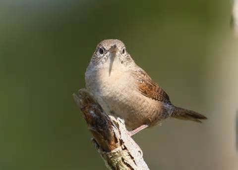 wren bird house house wren bird 28 images house wren photos birdspix house wren birds photo