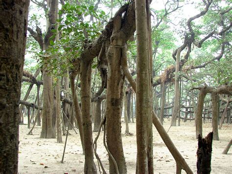 Botanical Garden Shibpur Shibpur Botanical Garden The Great Banyan Tree Inside View 3 Trunk Area Flickr