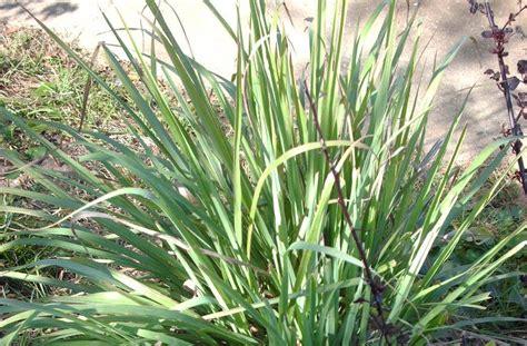 Grass Medicinal Uses aquarian bath culinary medicinal uses for lemon grass