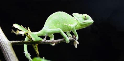 camaleonte in casa camaleonte immagini e prezzo idee green
