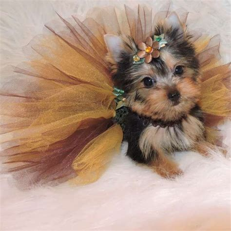 how much are teacup yorkie puppies 1000 images about terrier puppies on