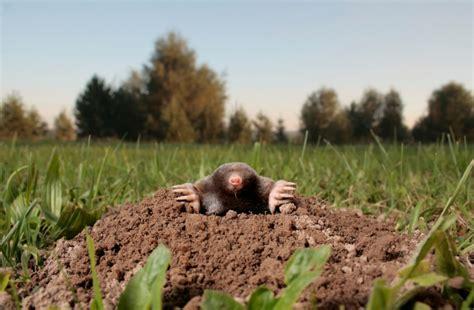 Ameisen Im Rasen Vertreiben 3069 by Sch 228 Dlinge Im Rasen 187 Erkennen Und Vertreiben