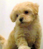 how much are yorkie poos worth small breed designer dogs