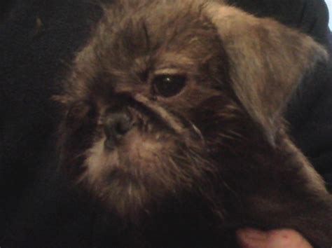 when can a puppy go outside for walks pug cross shihtzu can go out for walks now sunderland tyne and wear pets4homes